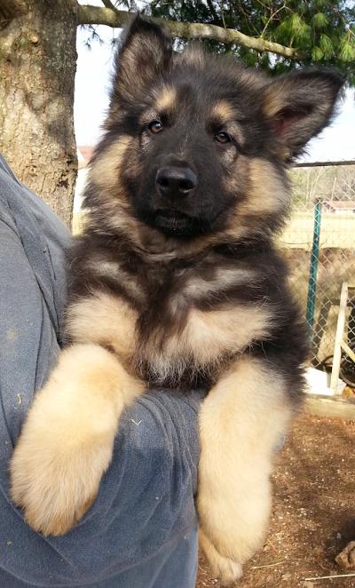 Ayer S Longcoat German Shepherds